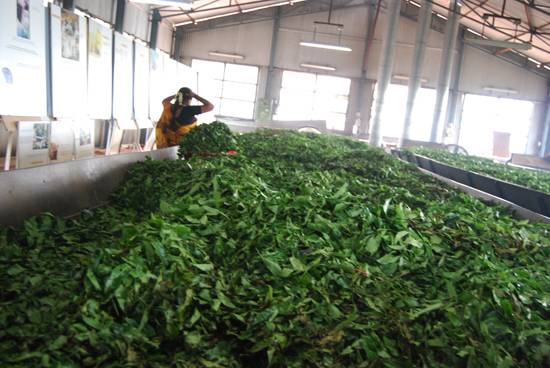 How tea is made?